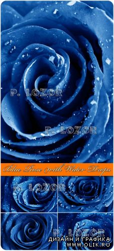 Blue Rose with Water Drops - Stock Photos