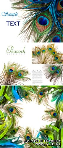 Stock Photo - Peacock Feathers