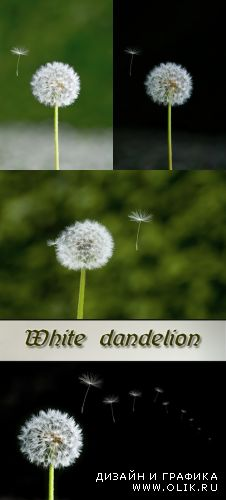 Stock Photo: White dandelion