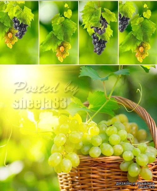 Stock Photo - Bunch of Grapes