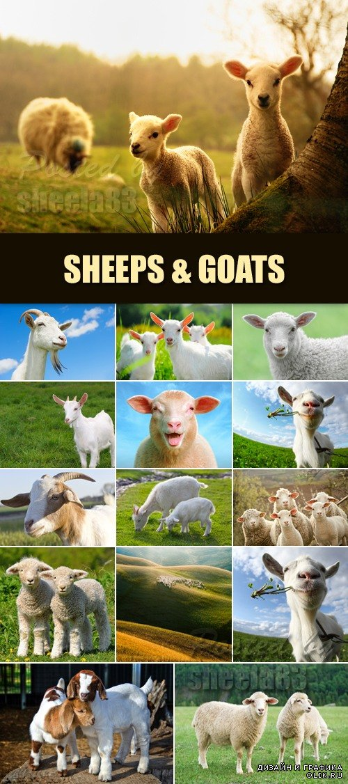 Stock Photo - Sheeps & Goats