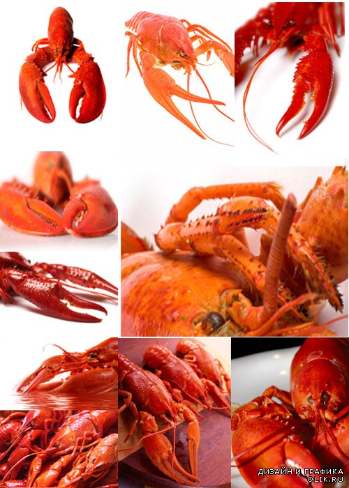 Омар/lobster close-up HD Photography