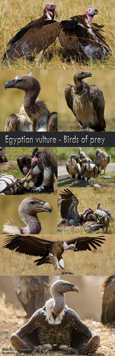Egyptian vulture - Birds of prey