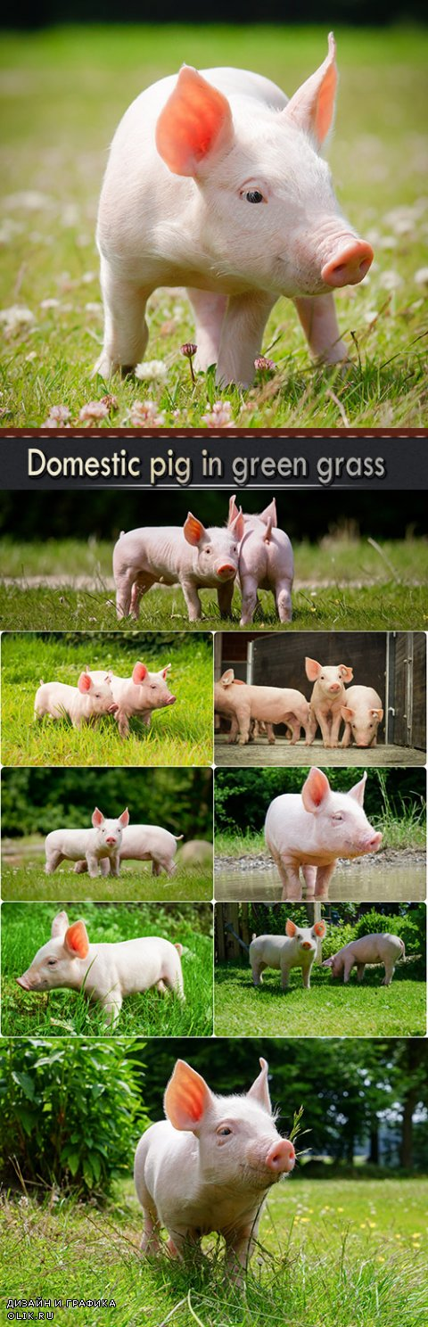 Domestic pig in green grass