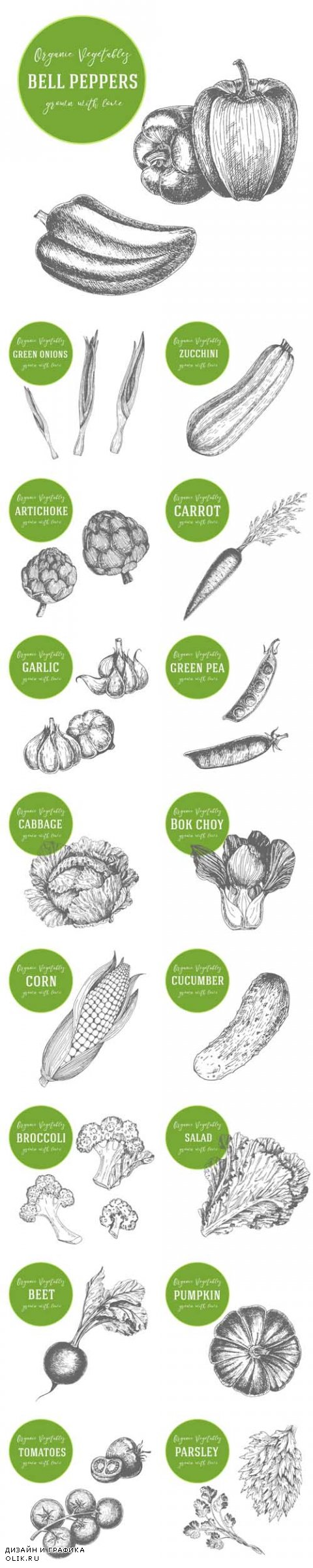 Vector Organic Vegetables. Hand Drawn with Ink Vintage Illustration