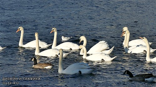 White swans swimming on the lake