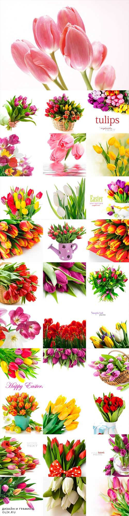 Tulips on white background 110 stock photo