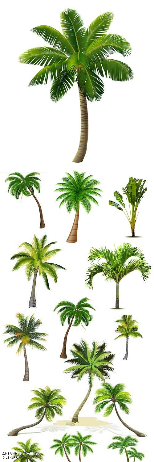 Summer Tropical palm tree with green big leaves