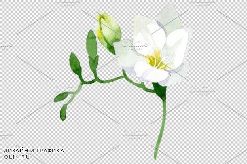 White Freesia Watercolor png - 3695300