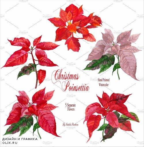 Christmas Poinsettia - 466283