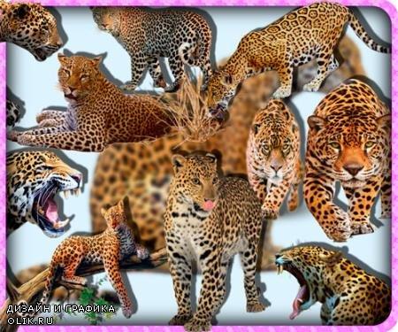 Клипарты для фотошопа - Ягуары