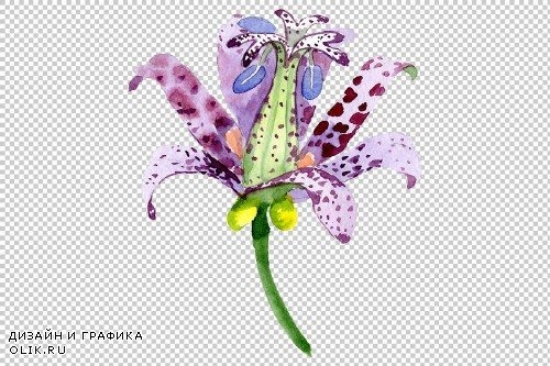 Lily toad watercolor png - 3780684