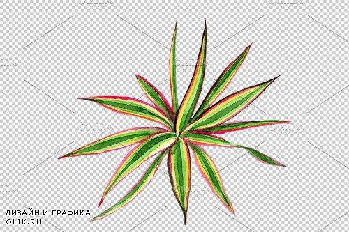 Dracaena maraginata tricolor - 3823402