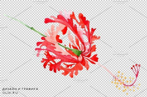 Hibiscus schizopetalon red - 3850371