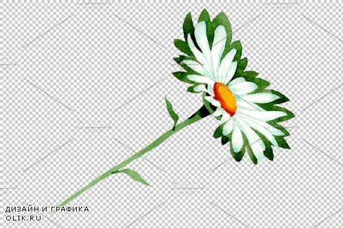 Chamomile white field watercolor png - 3883554