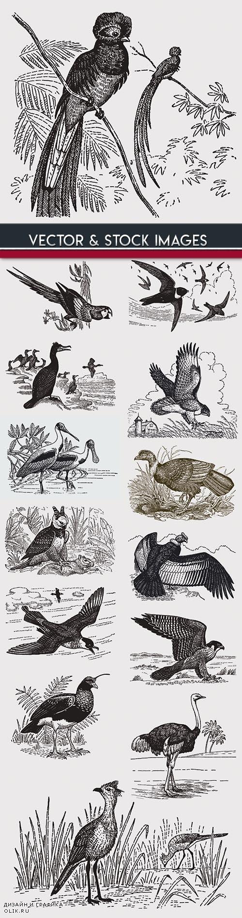 Birds drawn engravings in vintage style