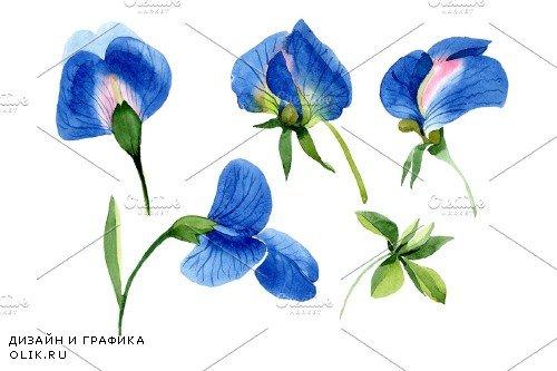 Sweet pea blue Watercolor png - 3997221