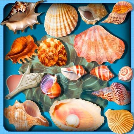 Растровые клипарты для фоторамок - Морские ракушки