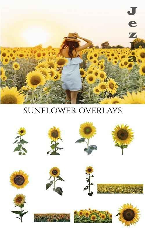 Sunflower Photoshop Overlays, PNGs - 5264990