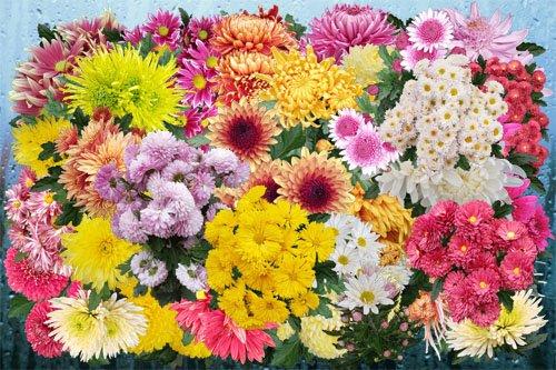 Клипарт Царство ботанических хризантем